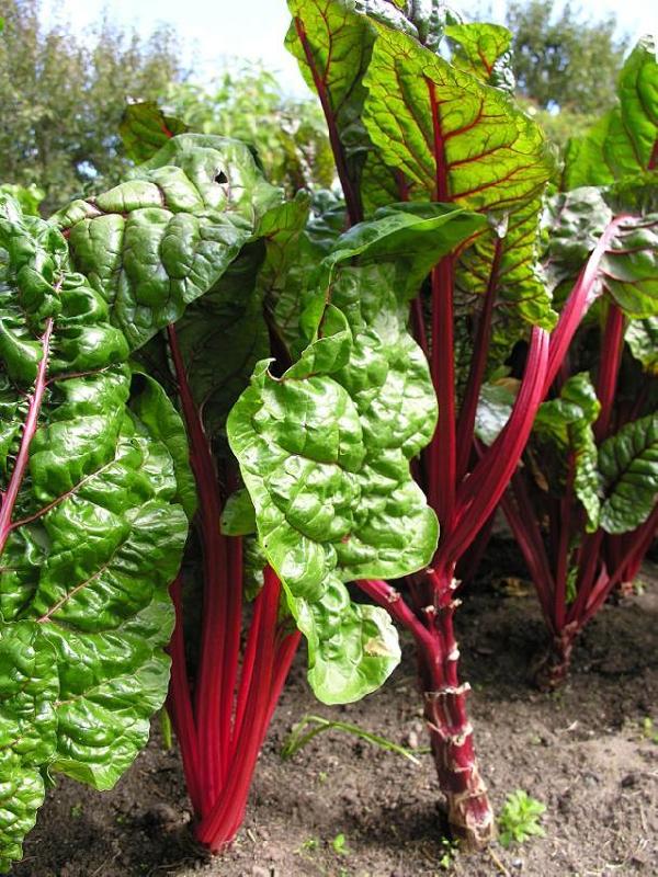Rhubarb resized 600